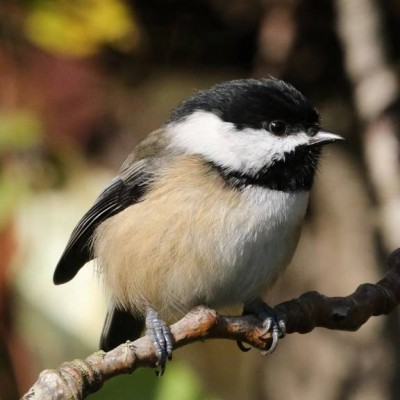 1-BLACK-CAPPED CHICKADEE.jpg