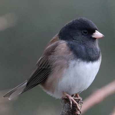 15-DARK-EYED JUNCO.jpg